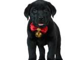 上海卢湾双血统拉布拉多幼犬多少钱一只