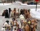 寻找可以代遛狗人士,长期 稳定,望京SOHO附近