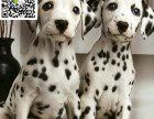 济南哪里有卖斑点狗 济南斑点狗多少钱 济南斑点狗图片
