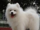 微笑天使三傻熊版萨摩耶雪橇犬幼犬罗威纳活体宠物狗狗