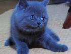 重庆蓝猫多少钱一只 蓝猫价格