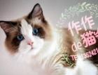 【作作de猫舍】蓝猫(加白) 布偶 英短矮脚猫