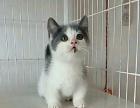 矮脚猫2个月超级漂亮