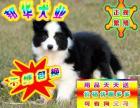 可签订协议 正规狗场繁殖 可看狗父母 边境犬