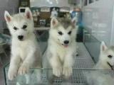 哈士奇幼犬雙藍眼三把火保純種保健康可簽協議