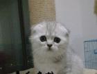 自家繁殖纯种健康【折耳猫】大眼睛包子脸 性格乖巧