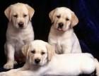 两三个月黑狼犬幼崽多少钱一只 小黑狼犬好驯养吗