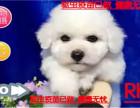 庆七夕 犬舍促销纯种比熊幼犬 棉花糖比熊幼犬 活体
