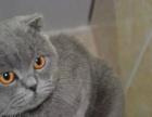 CFA认证专业打造顶级蓝猫幼猫专业品质签订质保可送