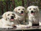 拉布拉多犬舍直销直播看狗 百度可查 可送上门