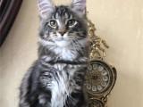 江苏扬州英国短毛猫蓝白幼猫放心购买