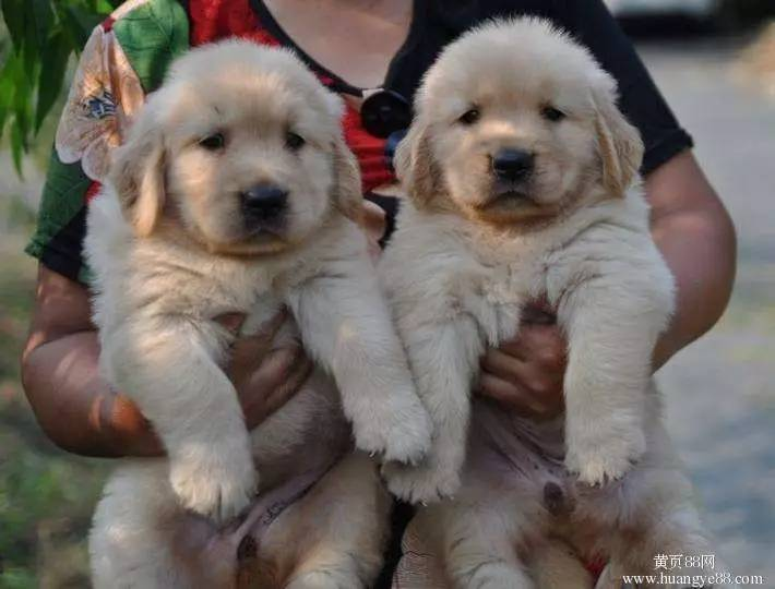 纯种金毛犬 寻回犬 血统纯正 毛色正宗 保健康
