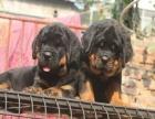 纯种罗威纳幼犬多窝出售公母均有 签保障协议
