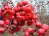 优质花木 木瓜海棠苗