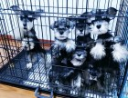 出售自家繁育的纯种健康雪纳瑞幼犬,包健康纯种养活!