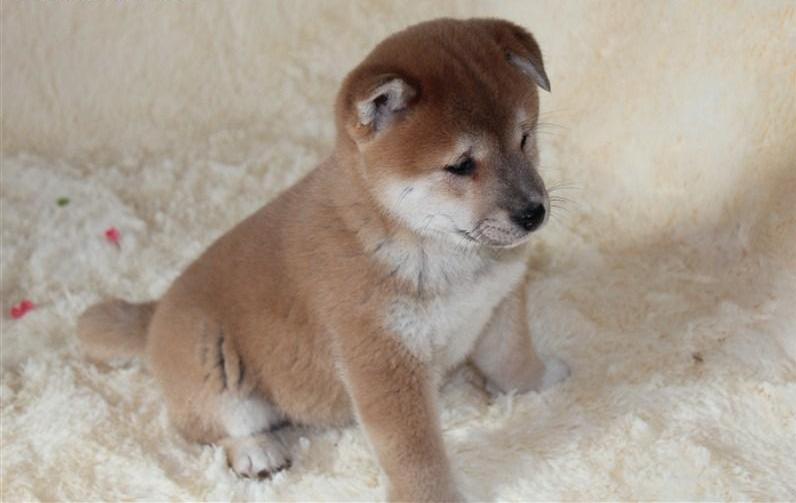 苏州柴犬一本地养殖狗场一直销各种世界名犬 常年售卖