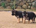 德国牧羊犬出售 可送货可发货 包健康