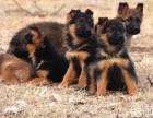 活泼聪明 德牧幼犬 让你开心的宠物 疫苗齐更