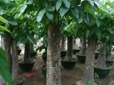 深圳公明,松岗,龙华,石岩花木场 花卉绿植租摆 绿化养护