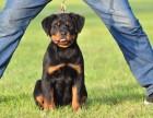 唐山哪里卖纯种罗威纳幼犬包纯种健康罗威纳价格