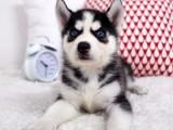 长沙雨花正规繁殖基地出售大中小型宠物犬保健康