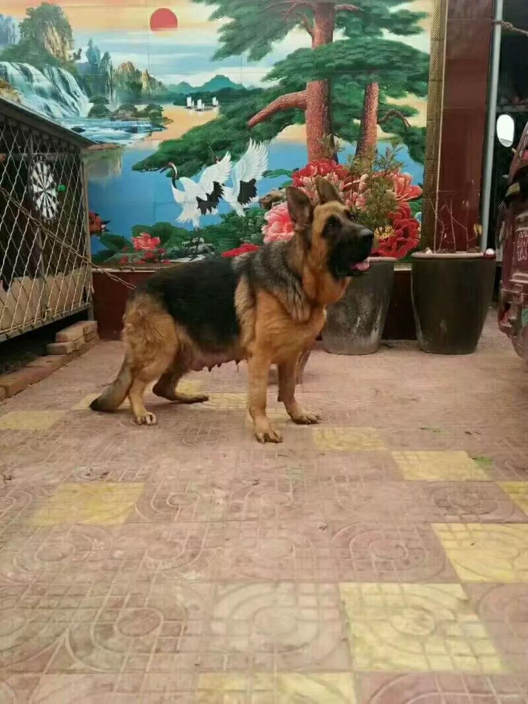 出售纯种德国牧羊犬 德牧幼犬 质量好 血统保证