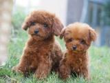 北京出售 泰迪犬 保纯种 三针疫苗齐全 健康血统有保障