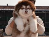宠物店里的阿拉斯加可以买吗 健不健康