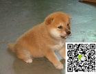 高品质柴犬萌宠 基地直销 保纯种健康 欢迎实地挑选