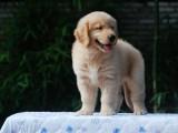 扬州出售金毛犬金毛犬双血统金毛健康保障带证书的金毛犬