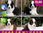 重庆纯种边境幼犬出售 品相端正 签协议 保健康