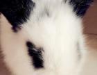 自家养殖熊猫兔小白兔