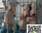 在哪里买纯种的牛头梗幼犬 牛头梗幼犬最低多少钱
