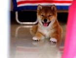 青岛哪里有卖柴犬 纯种柴犬价格 柴犬犬舍 柴犬出售