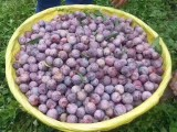 汶川出售脆红李子嫁接苗,哪里有脆红李果树苗,四川有红脆李树苗