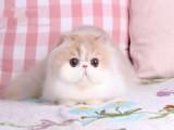 无锡出售纯种宠物猫 品种齐全 可视频对接看猫