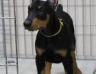 纯正德系纯种杜宾猎犬出售公母都有赛级品相保健康协议