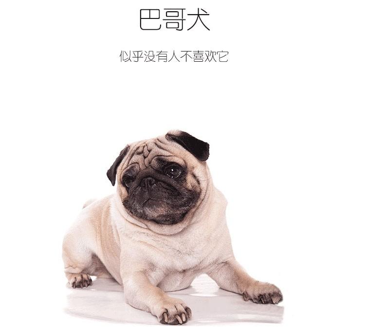 上海直销金毛犬柯基犬 哈士奇拉布拉多犬 阿拉犬包犬瘟细小健康