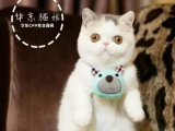 家养的纯种红虎斑加菲猫纯白加菲猫英短还有美短