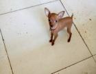 小鹿犬出售了