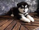扬州哪里有宠物狗卖阿拉斯加幼犬出售 带证书