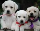 卖的是信誉买的是品质 包健康签协议纯种 拉布拉多犬