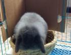 其他转让纯种荷兰垂耳兔一只.紫灰色.女.2月龄