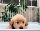 犬舍繁殖纯种金毛犬 美系英系 证书齐全 保纯种健康