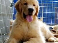自家出售一窝纯种金毛犬包健康,价格便宜
