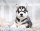cku注册五星级犬舍 双血统哈士奇可上门挑选