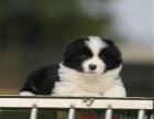 纯种边境牧羊犬多少钱 边牧出售 找新家