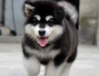 重庆哪里出售阿拉斯加犬 重庆宠物店信誉好