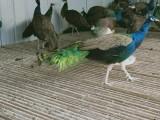 懷化純種的藍孔雀苗養殖基地