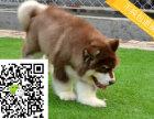 大骨架巨型阿拉斯加雪橇犬,健康纯血统签订协议